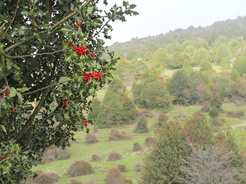 Turismo por la provincia de Soria, acebal de Garagüeta