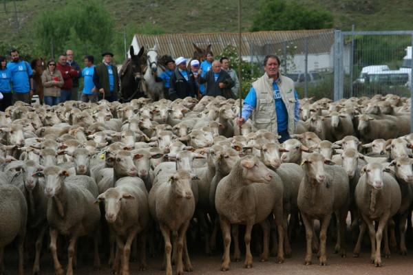 La trashumancia celebra sus jornadas del 5 al 20 de julio con charlas, demostraciones, gastronomía y el paso de un millar de ovejas merinas