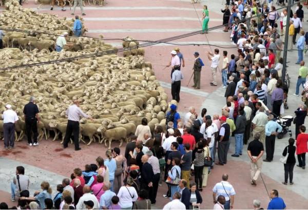 La trashumancia comienza hoy sus jornadas con una exposición y mañana incluye la llegada de más de 1.000 ovejas merinas a la capital